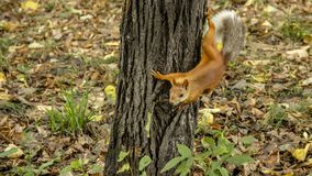 Red squirrel prepares to jump from the tree trunk. stock photo