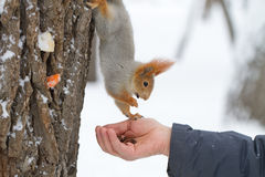 Red squirrel profile. A red squirrel balanced on a tree trunk whilst feeding in winter from a human hand stock photography