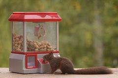 Squirrel putts a coin in a Gumball Machine. Red squirrel putting a coin in a Gumball Machine stock image