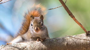 Red squirrel, quick little woodland creature pauses only for a second, running around on branches and in trees. Royalty Free Stock Images