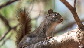 Red squirrel, quick little woodland creature pauses only for a second, running around on branches and in trees. Royalty Free Stock Photo
