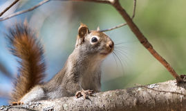 Red squirrel, quick little woodland creature pauses only for a second, running around on branches and in trees. Stock Images