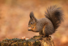 Red squirrel raiding the nuts Stock Photo
