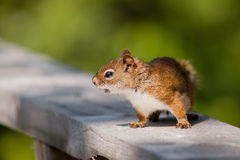 Red squirrel on a rail. A nervous red squirrel is on a rail Royalty Free Stock Images