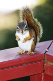 Red squirrel on railing Stock Photography