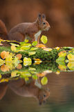 Red squirrel with a reflection in the water. Stock Images