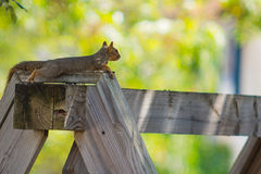 A Red Squirrel relaxing on a wood yard swing Royalty Free Stock Photos