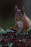 Red Squirrel resting on branch of pine tree Stock Photography