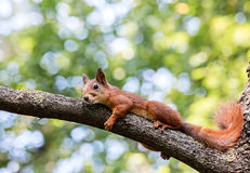 Red squirrel resting in shade on tree branch during summer day Royalty Free Stock Image