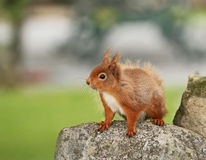 Red Squirrel on rock. Red Squirrel plucking up courage to jump onto peanut feeder in Scottish Highlands Stock Photo