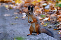 Red squirrel on the rock Royalty Free Stock Photos