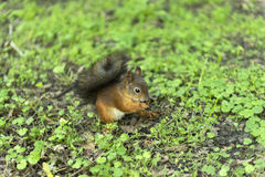 Red squirrel, rodent, sitting on the ground on the grass. Red squirrel with bushy tail, rodent, sitting on the ground on the grass Royalty Free Stock Image