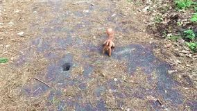 Red squirrel run closer and closer. stock footage