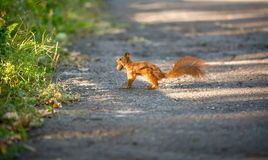 Red squirrel running on road and carrying nut Royalty Free Stock Photography