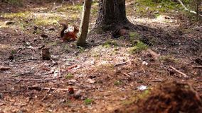 Red squirrel runs away from gray stock footage