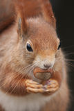Red Squirrel. Sat with a Hazelnut Royalty Free Stock Photo