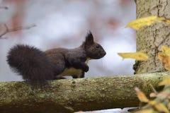 Squirrel sciurine crawly on the trees. Red squirrel sciurine crawly on the trees stock images