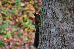 Squirrel sciurine crawly on the trees. Red squirrel sciurine crawly on the trees royalty free stock image