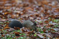 Squirrel sciurine crawly on the trees. Red squirrel sciurine crawly on the trees royalty free stock photo