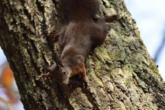 Squirrel sciurine crawly on the trees Stock Images