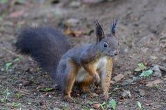 Squirrel sciurine crawly on the trees. Red squirrel sciurine crawly on the trees stock photos