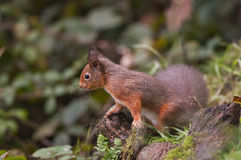 Red Squirrel (Sciurus vulgaris) Royalty Free Stock Image