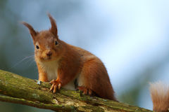 Red Squirrel (Sciurus vulgaris). A Red Squirrel, now endangered in the UK sits on the branch of a tree royalty free stock photos