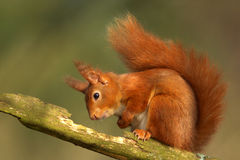 Red Squirrel (Sciurus vulgaris). A Red Squirrel, now endangered in the UK sits on the branch of a tree stock image