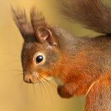 Red Squirrel (Sciurus vulgaris). A close up portrait of a Red Squirrel Stock Photo