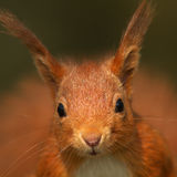 Red Squirrel (Sciurus vulgaris). A close up portrait of a Red Squirrel royalty free stock photos