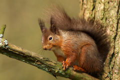 Red Squirrel (Sciurus vulgaris). A Red Squirrel, sits on the branch of a tree royalty free stock photo
