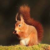 Red Squirrel (Sciurus vulgaris). Close up shot of a red squirrel sitting on a moss covered branch. Red squirrels are endangered now in the UK stock photography