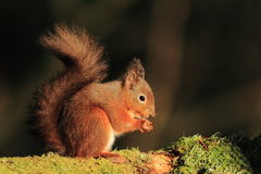 Red Squirrel (Sciurus vulgaris). Close up shot of a red squirrel sitting on a moss covered branch. Red squirrels are endangered now in the UK royalty free stock image