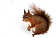 Free Red Squirrel (Sciurus Vulgaris) Royalty Free Stock Image - 36257456