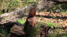 Red Squirrel, sciurus vulgaris, Adult Finding Hazelnut in Tree Stump and Walking away, Normandy in France, stock video footage