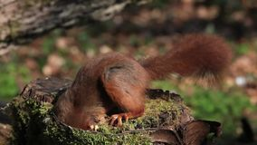 Red Squirrel, sciurus vulgaris, Adult looking for Hazelnut in Tree Stump, Normandy in France, stock footage