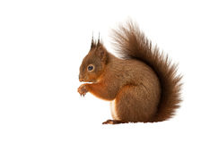 Red Squirrel (Sciurus Vulgaris) Royalty Free Stock Photos