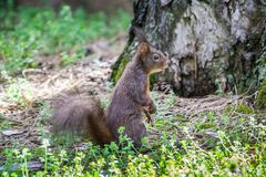 Red Squirrel Sciurus Vulgaris. Among autumn leaves Royalty Free Stock Photography