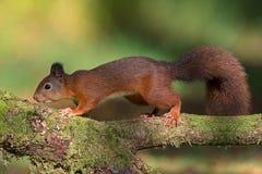 Red Squirrel (Sciurus Vulgaris) Royalty Free Stock Photography