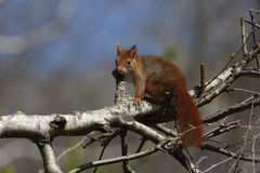 Red squirrel, Sciurus vulgaris Royalty Free Stock Photos