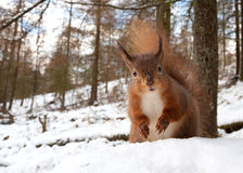 Red Squirrel (Sciurus Vulgaris) Royalty Free Stock Image