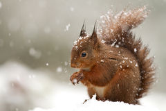 Red Squirrel (Sciurus Vulgaris) Stock Photo