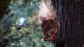 Red Squirrel, Sciurus vulgaris, eating, feeding, scratching in a pine tree, moray , scotland