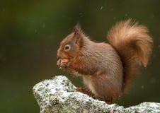 Red Squirrel (Sciurus Vulgaris) Stock Image