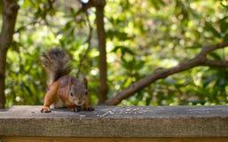 The Red Squirrel Sciurus vulgaris stock image