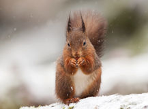 Red Squirrel (Sciurus Vulgaris) Stock Photos