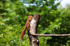 Red Squirrel. The squirrel Stock Photo
