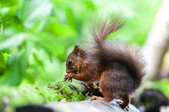 Red Squirrel. The squirrel Royalty Free Stock Photos
