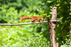 Red Squirrel. The squirrel Royalty Free Stock Images