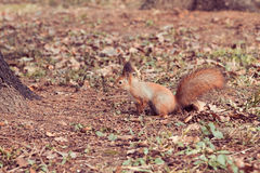 Red Squirrel (Sciurus vulgaris). Little Red Squirrel (Sciurus vulgaris Royalty Free Stock Image